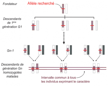 La cartographie par homozygotie Ytournel et al. (2008)